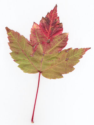Feuille Acer Rubrum Bowhall